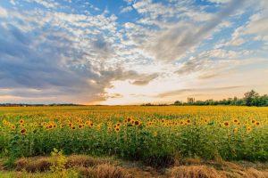 sunflower-field-summer_full_width